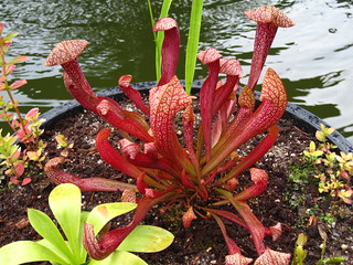 Pitcher Plant | by Brooklyn Botanic Garden