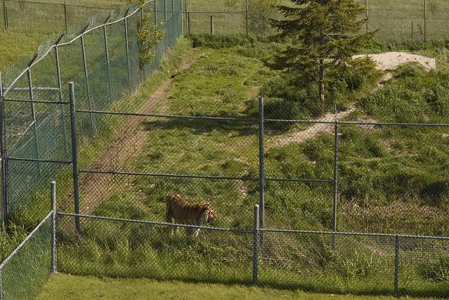 Siberian Tiger Flickr Photo Sharing