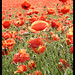Sea of poppies close-up