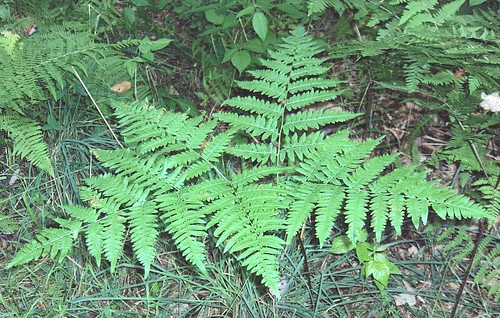 Bracken-Fern | by homeredwardprice