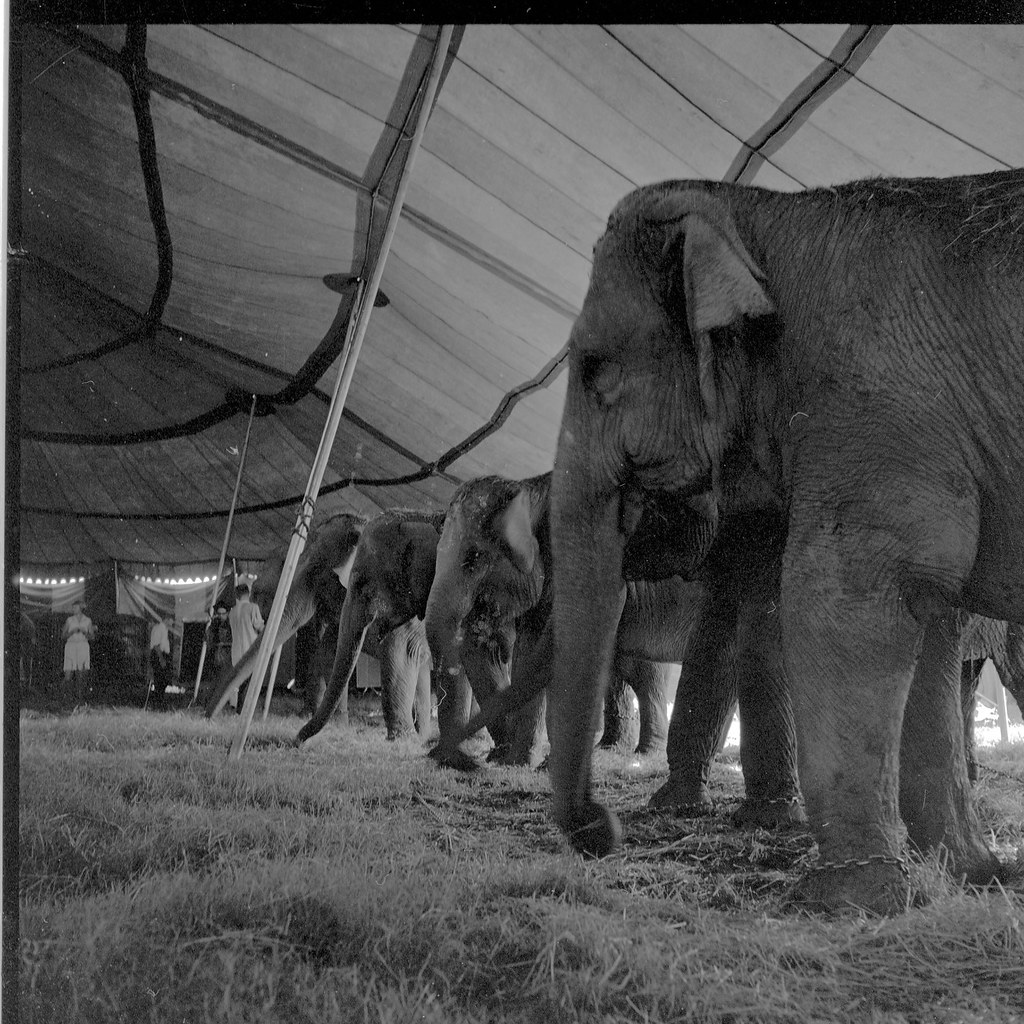 Circus elephants   Ele...