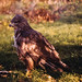 Common Buzzard, Buteo buteo, Bird of Prey