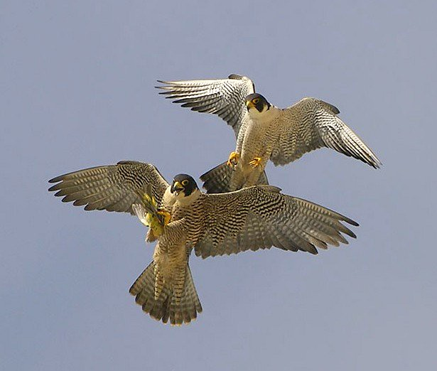 peregrine falcon food transfer 2 the teircel male peregr flickr. Black Bedroom Furniture Sets. Home Design Ideas