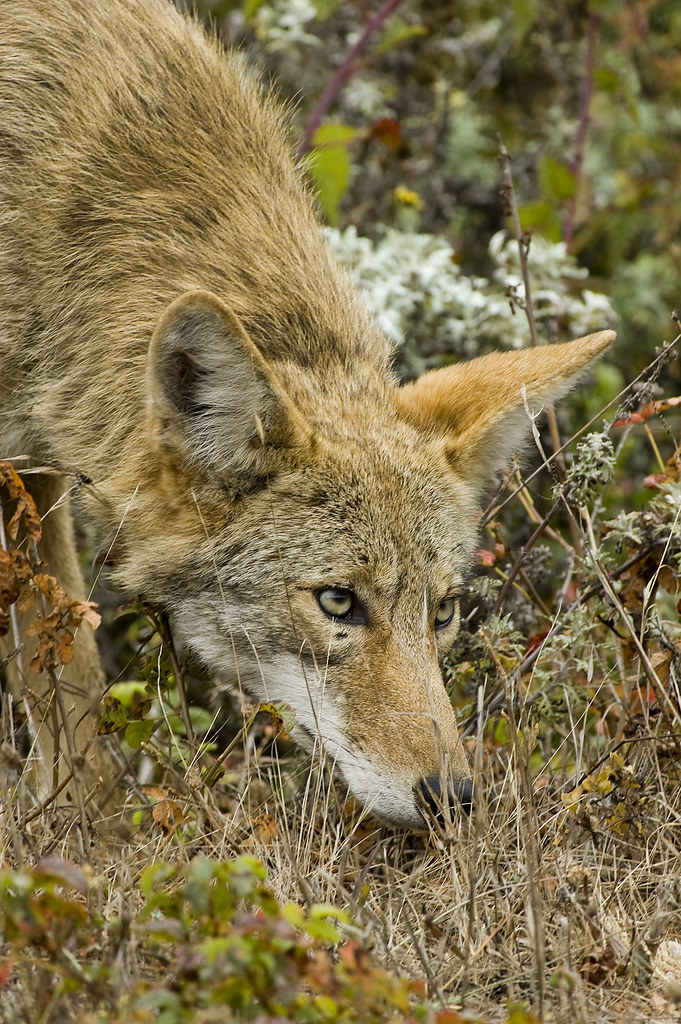 a look at the coyote or canis latrans Determine if the following statement is true or false: the coyote (canis latrans) is found across north america which makes it a specialist species.