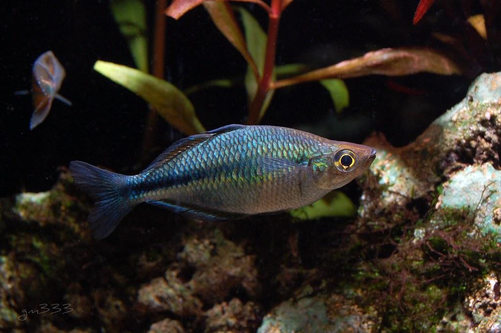 Turquoise rainbowfish gary mckinney flickr for Turquoise rainbow fish