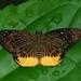 YELLOW FLAT  Mooreana trichoneura pralaya,  Manas National Park, Assam, India.
