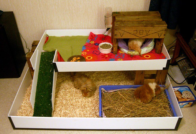 New indoor guinea pig house | From left-right: Hairy ...