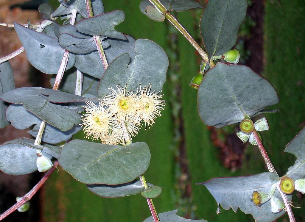 Flowering Eucalyptus In Weston