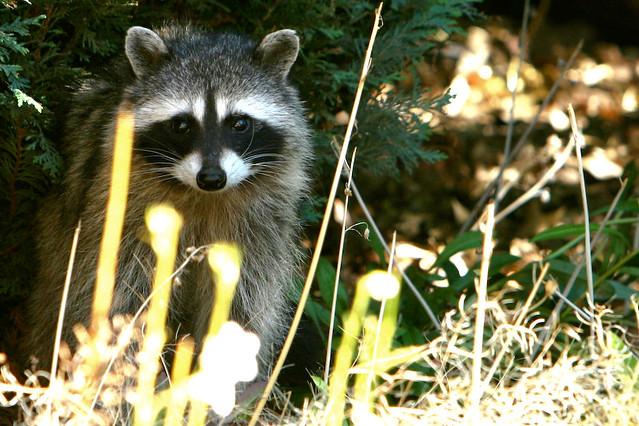 24 Fresh Raccoon In My Backyard - Get New Home Design