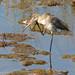 Milherango ou Maçarico-de-bico-direito // Black-tailed Godwit (Limosa limosa subsp. limosa)