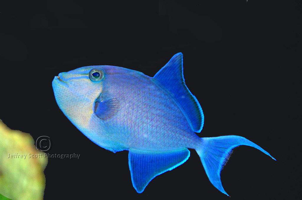 Blue fish a pretty blue fish at the mote aquarium in for Blue fish aquarium