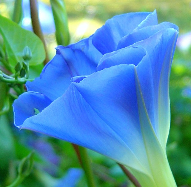 Morning Glory Blue Morning Glory Flower From My Dads Gar Flickr