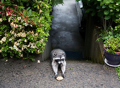 Raccoon_Cookie | by coreyfishes