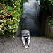 Raccoon_Cookie