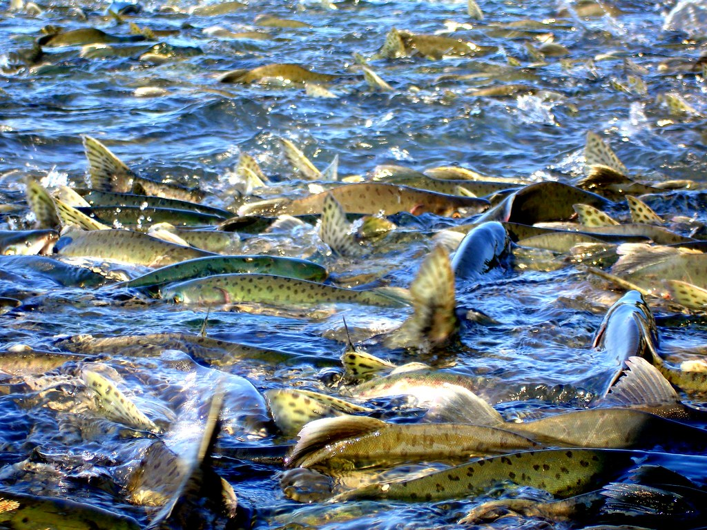Valdez Alaska Fishing - Pink Salmon Spawning | fishonyukon.com | Flickr