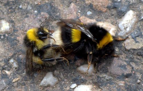 Hatching red mason bee i
