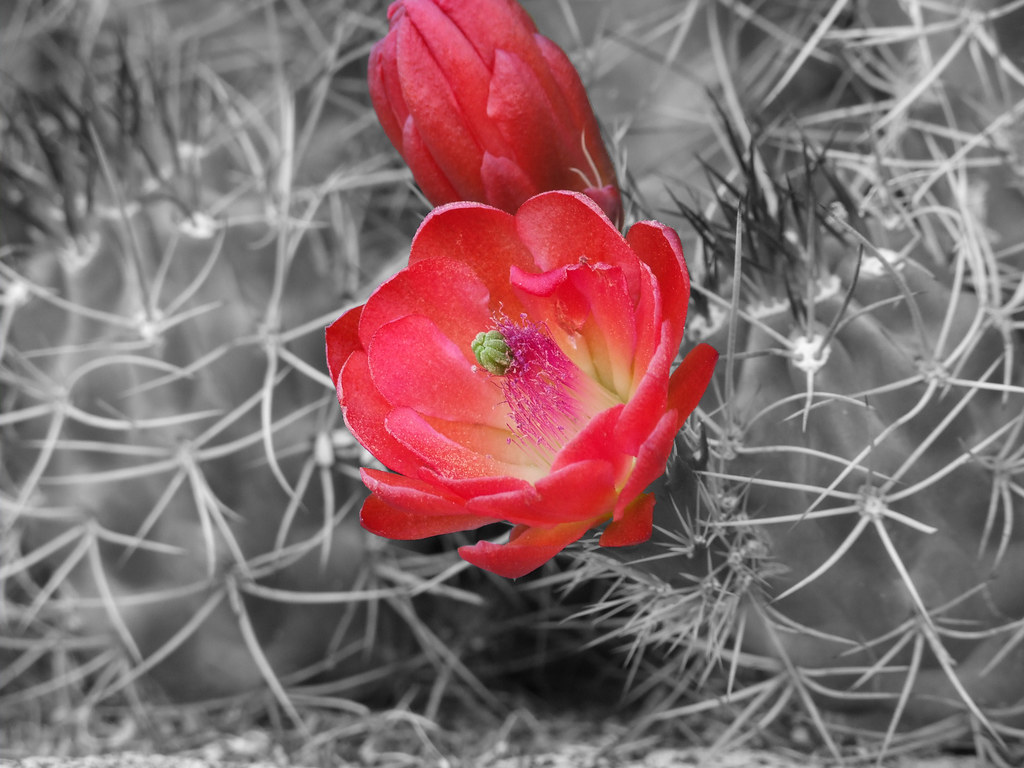 desert flower coloring pages - photo#35