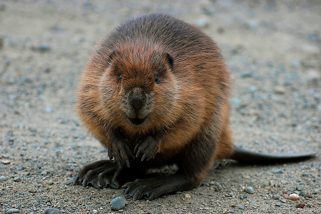 Smiling Beaver With A Toothbrush Stock Photo - Image: 35924760