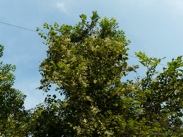 Beete Kannada ���ೀಟೆ Fabaceae Pea Or Legume Family
