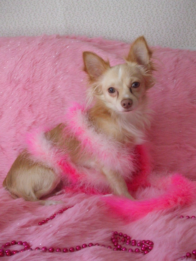 Pretty in Pink Chihuahua | My dog posing for me. | Flickr