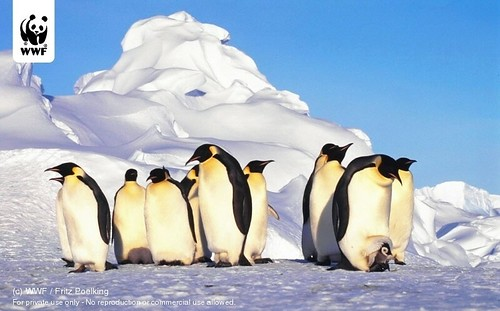 Emperor penguins, Antartica | by WWF - Global Photo Network