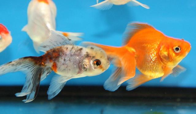 Red + Calico Fantail Goldfish   Carassius auratus ...
