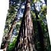 Redwood tree panorama