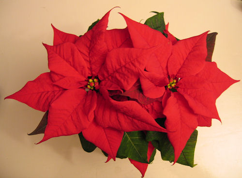 red xmas flower :: jul...
