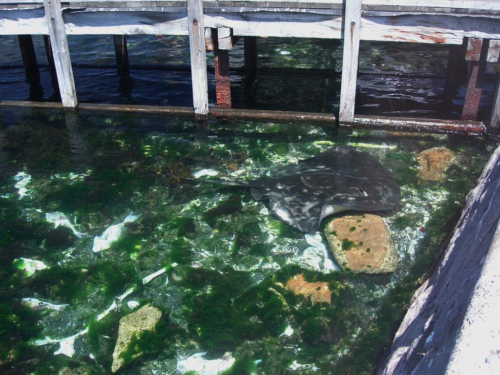 Pier 2m stingray feeding on snapper bones fish cleanin for Fish cleaning station near me