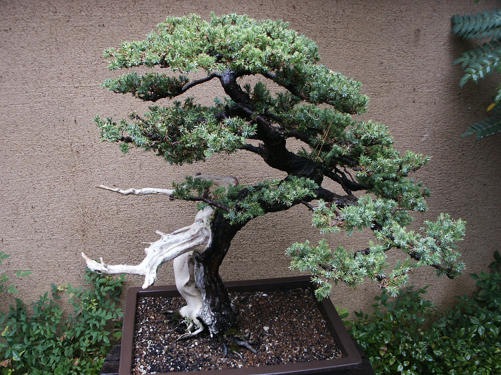 Huntington library japanese bonsai garden 144 huntington for Garden trees types