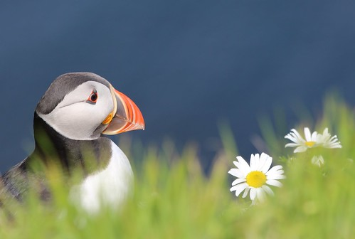 Puffin in the daisies | by ladyjaypeg