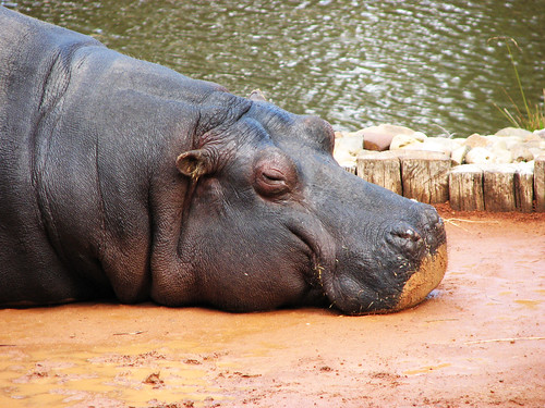 Hippopotamus | by corrieb