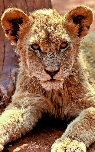 "196\365  baby LION in SUN CITY | by ""Anwaar"