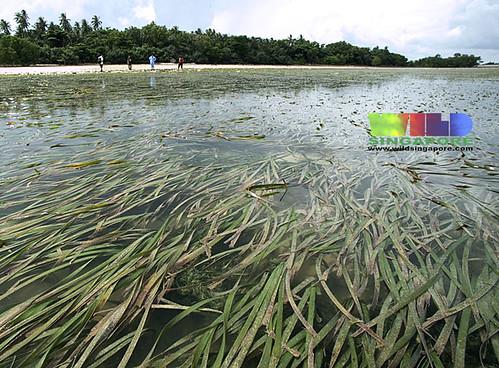 Pulau Semakau seagrass meadows