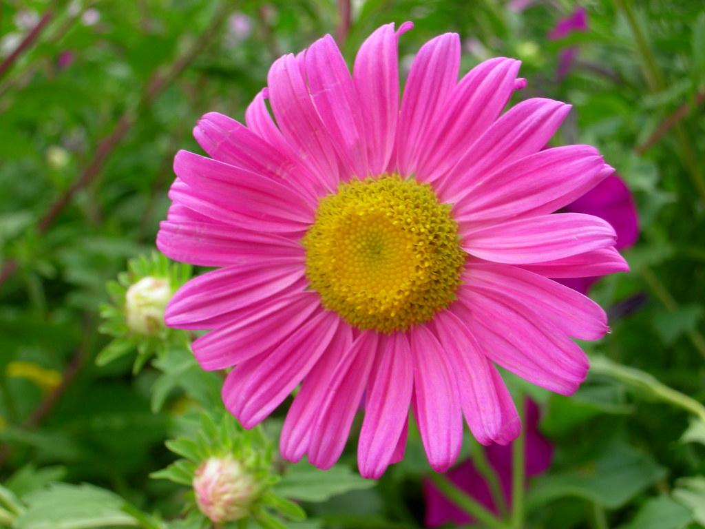 S cia nome cient fico callistephus explore 2008 10 13 for Catalogo de flores de jardin