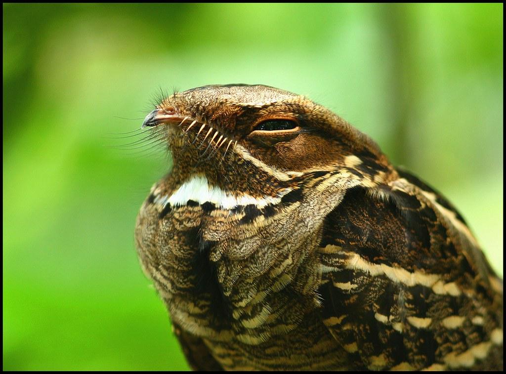 Tailed Nightjar Large-tailed Nightjar | by
