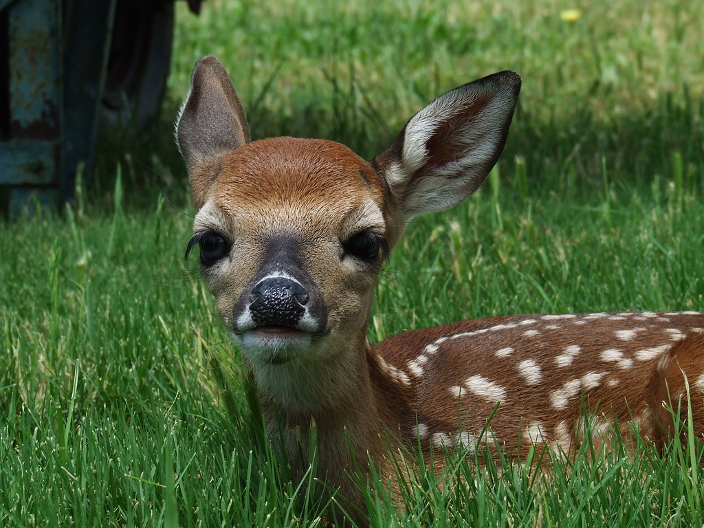 baby whitetail deer | go to kreativecapture.com | Kathy ... - photo#11