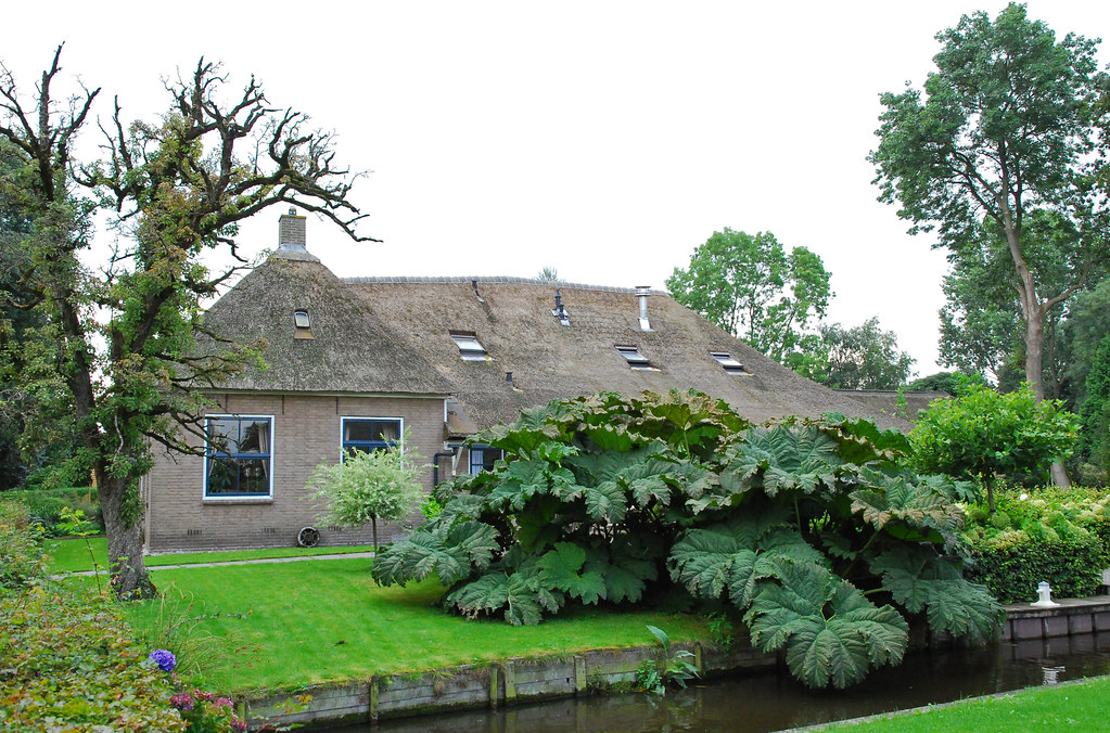 Giethoorn cottage with gunnera manicata or giant rhubarb flickr