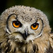 Baby Bengal Eagle Owl 2