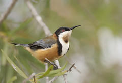 Eastern Spinebill | by 0ystercatcher