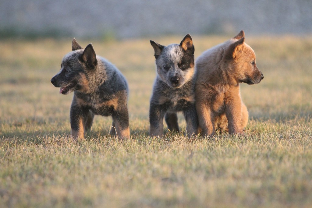 Australian Cattle Dog Puppy Images