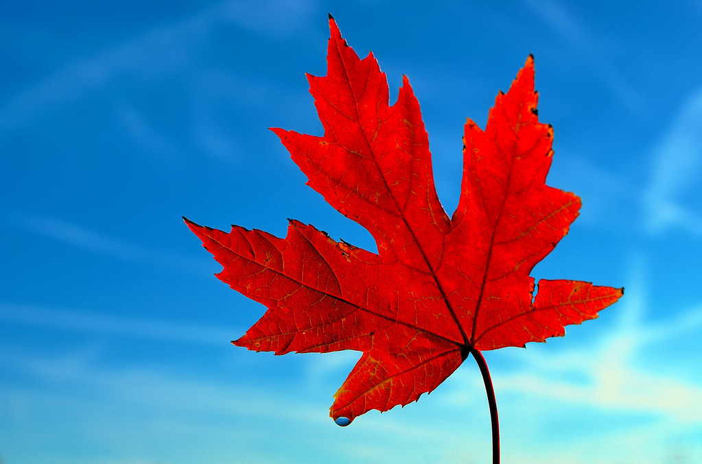Image result for maple leaf