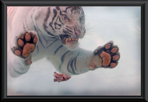 Scary White Tiger | by kristi_Nikon_D1X
