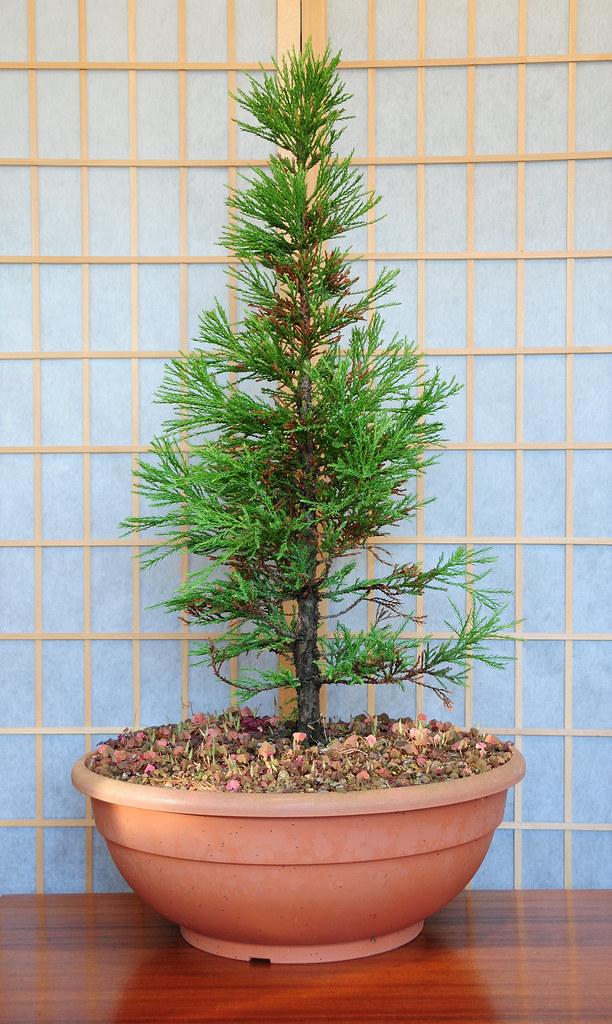Выращивание секвойядендрон 93
