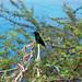 Hummingbird in Curaçao