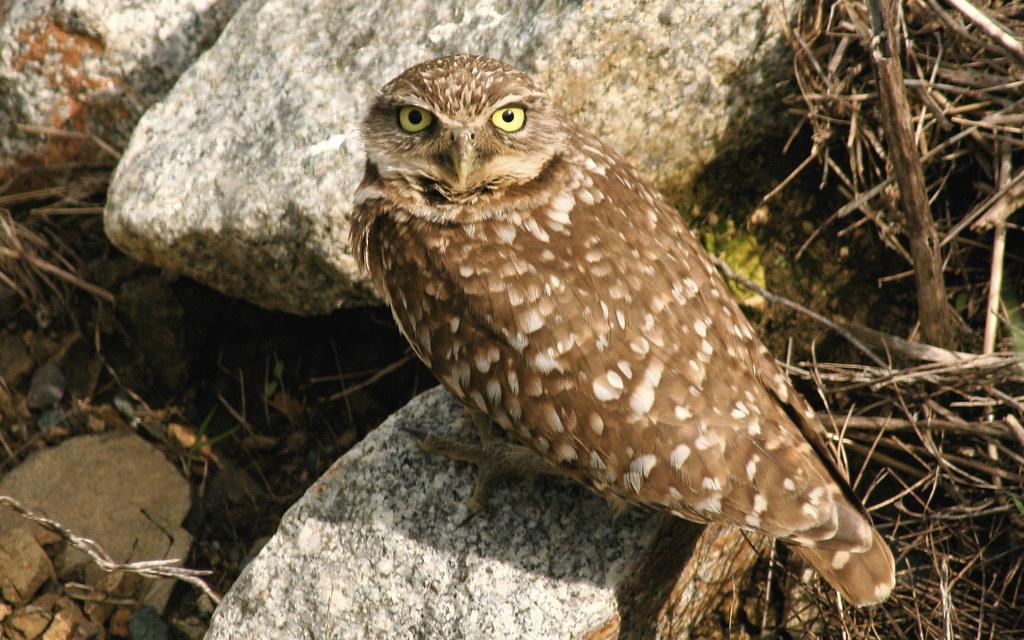 Burrowing Owl   Teddy Llovet   Flickr Owl