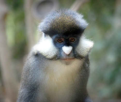 Schmidt S Guenon Found Out What Species He Is Found Him