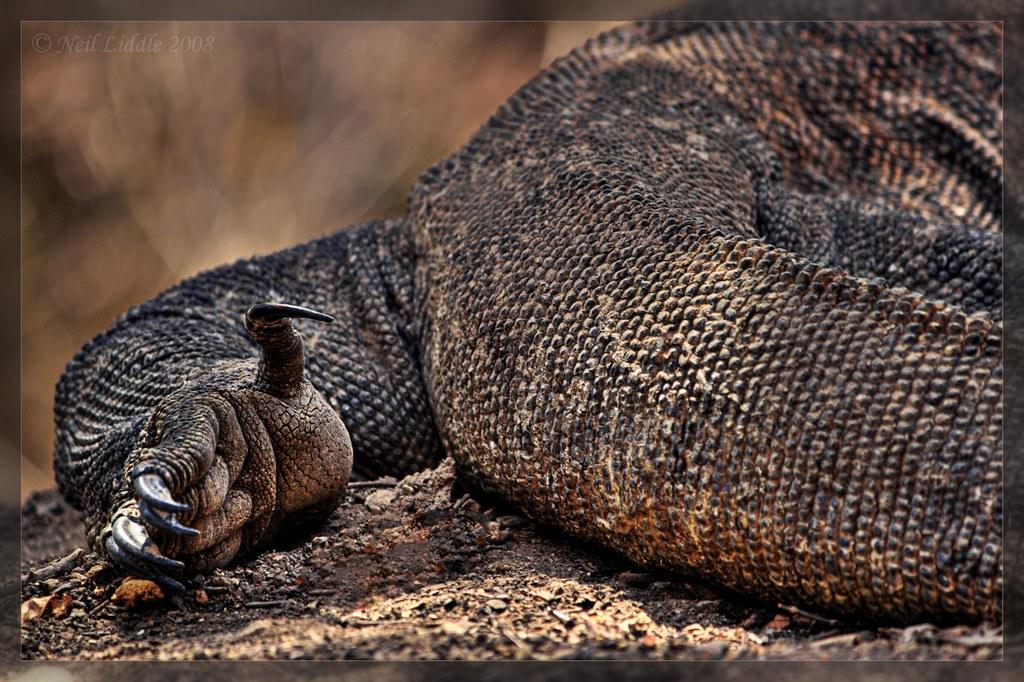 Komodo dragon foot | Komodo dragons are not the prettiest ...