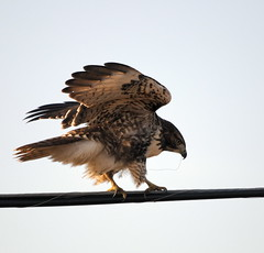 Buse à queue rousse - Red-tailed Hawk - Gavilan colirrojo | by elgalopino