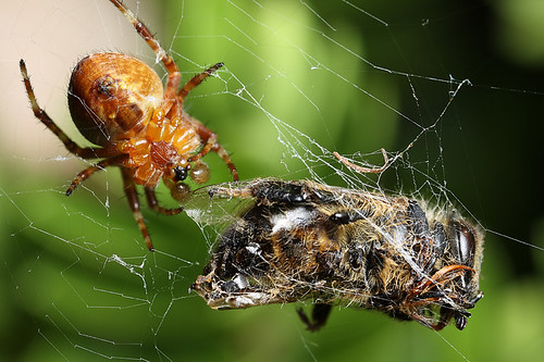 Spider in web with prey - photo#39
